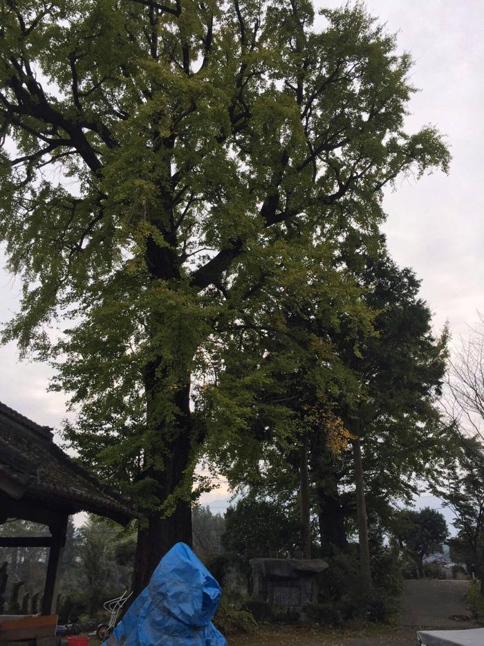 樹齢400年のイチョウ